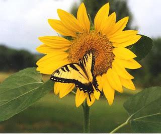 foto gambar bunga matahari dan kupu-kupu