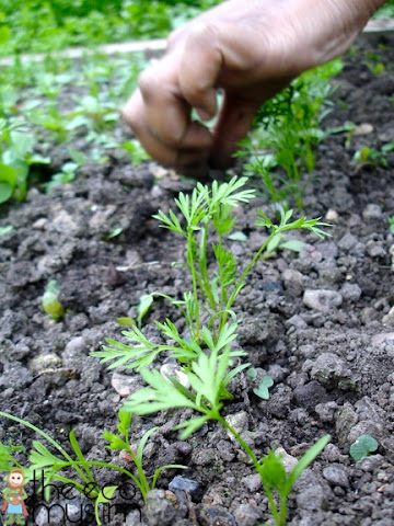 organic radish carrot fertilisers eating healthy ideas