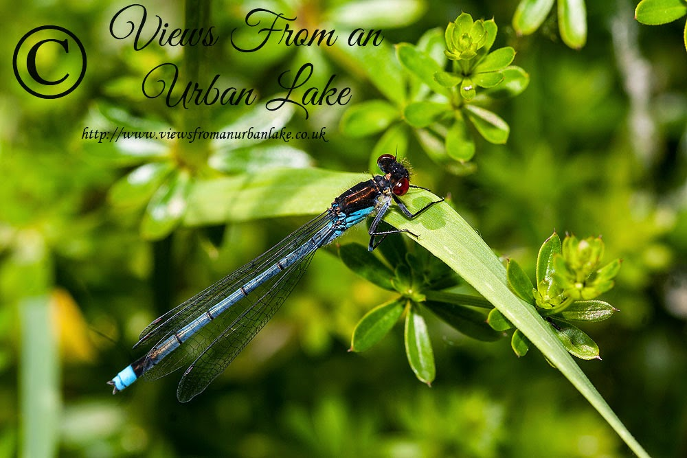 Red-Eyed Damselfly - Lodge Lake, Milton Keynes