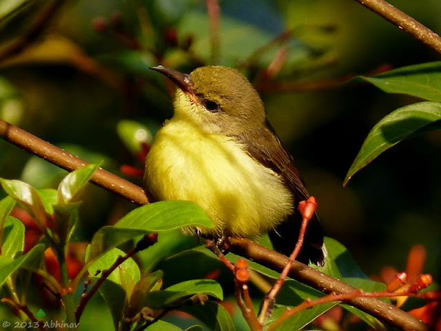 Purple Rumped Sunbird -  Juvenile