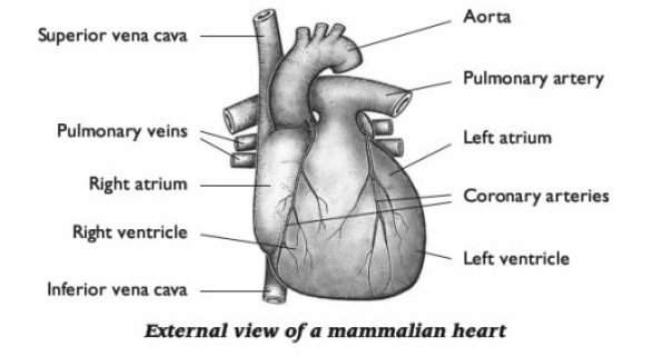 46 the heart biology notes for a level the mammalian heart is a hollow organ and is surrounded by a double membrane called the pericardium ccuart Images