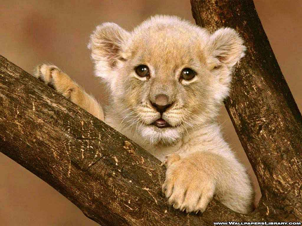 Cute Baby Lion Cubs