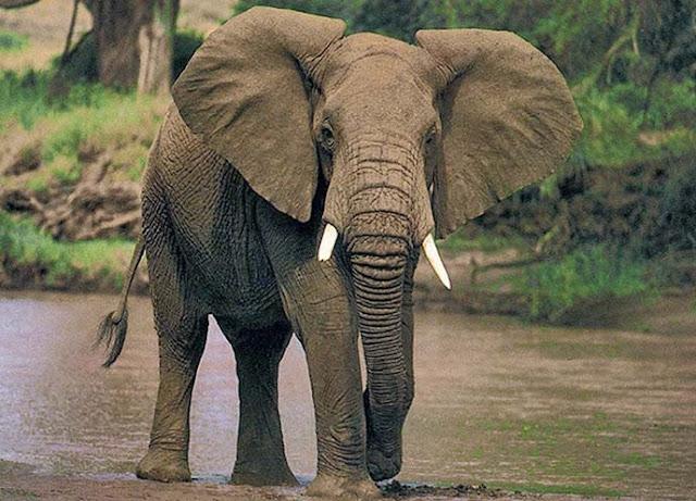 Maestra de Infantil: Los elefantes Características