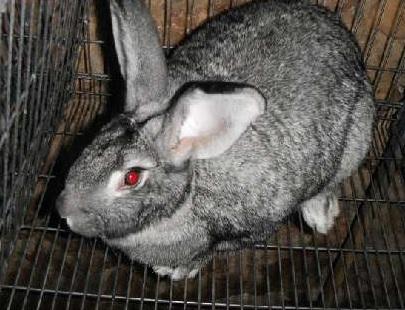 Razas de conejos : Californian ( Californiano ) ~ Los