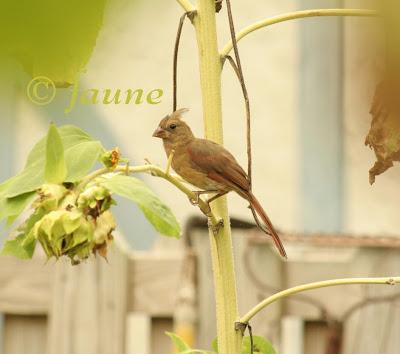Cardinal in the Garden