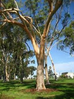 Eucalyptus - flora papua