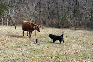 Shadow meets a cow