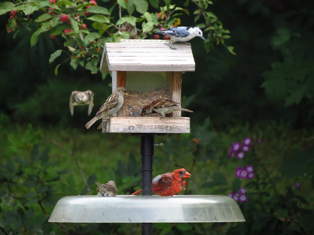 cardinal nuthatch and house sparrows on feeder