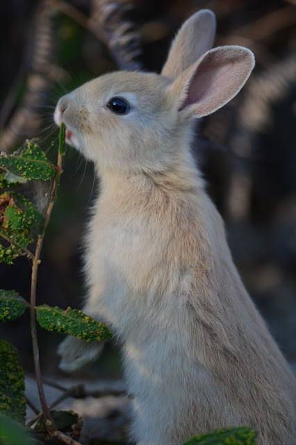 Baby rabbit in Okunoshima Island