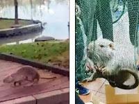 Tikus 'Mutan' Raksasa Berkeliaran Bikin Heboh Kampus