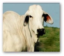 Indice de Vacas Brahmans