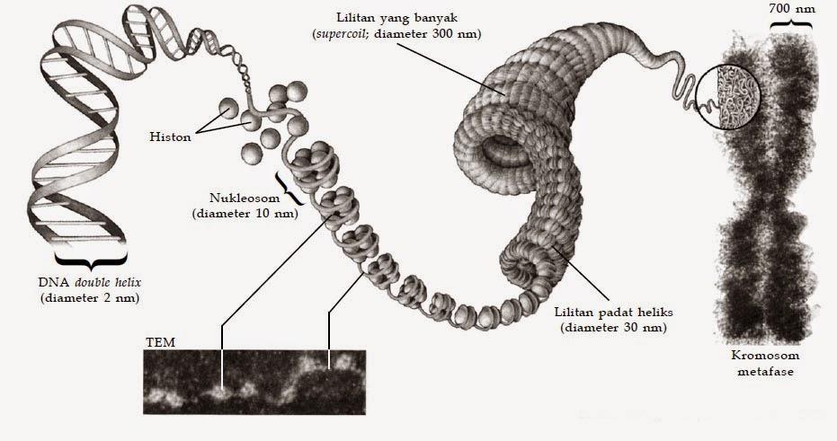 Bentuk dan Ukuran Kromosom