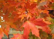 Native Fall Foliage .