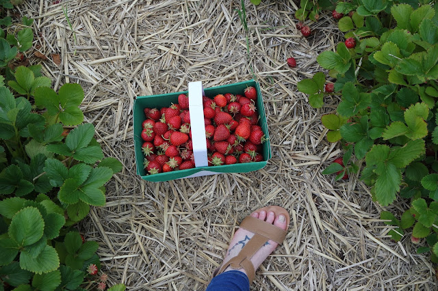 Strawberry Picking - Spilman Farm - York - Summer