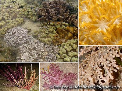Soft corals (order Alcyonacea)