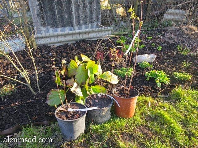 жимолость, голубая, синяя, Lonicera caerulea, аленин сад, апрель в саду, цветы в апреле,