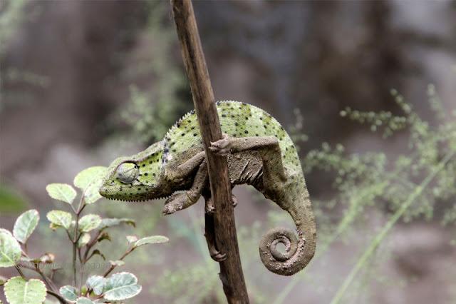Senegal chameleon (Chamaeleo senegalensis) in the Gambia