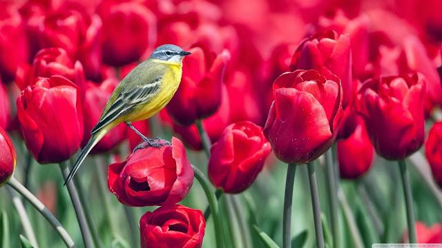 best tulips wallpaper