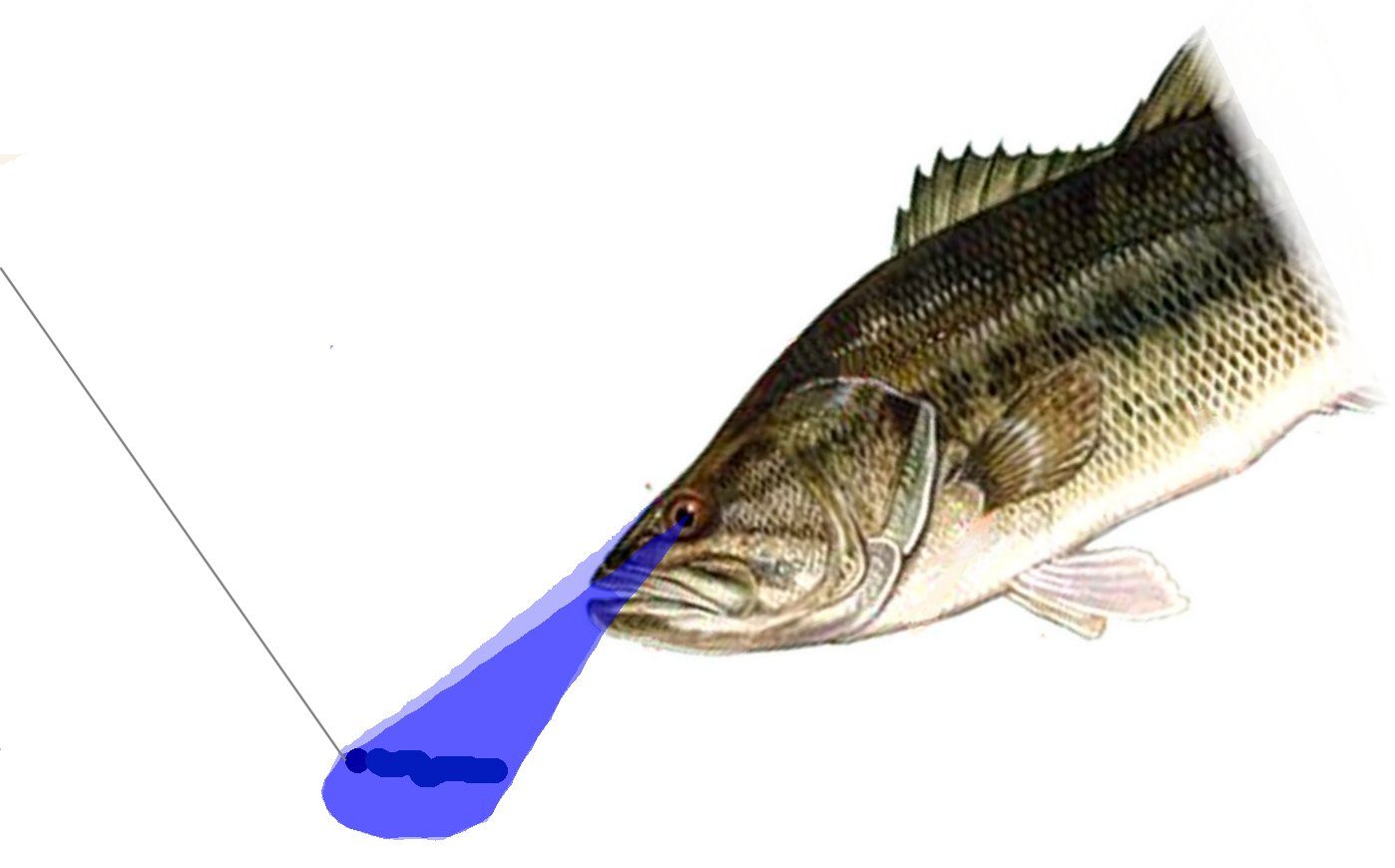Magnificent Largemouth Bass Anatomy Ensign - Human Anatomy Images ...