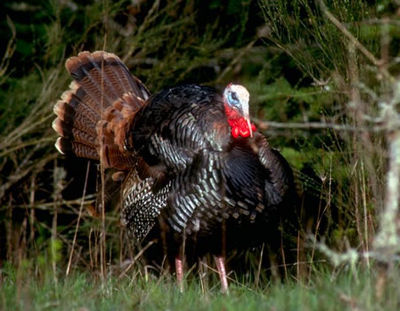 Chant du Départ: Close Encounters of the Turkey Kind