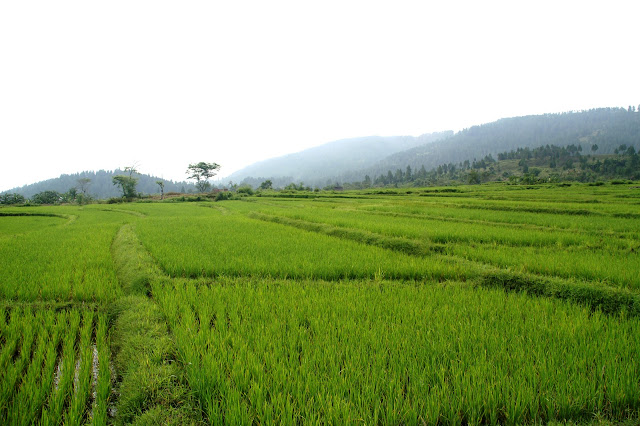 Rice Field HD Wallpaper Gallery