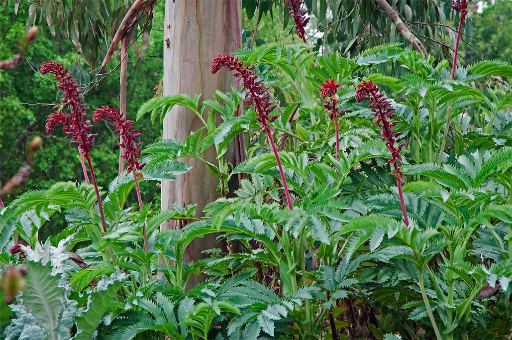 Linda Cochran S Garden Melianthus Major