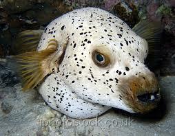 Fish n tips large aquarium fish saltwater for Dog face puffer fish
