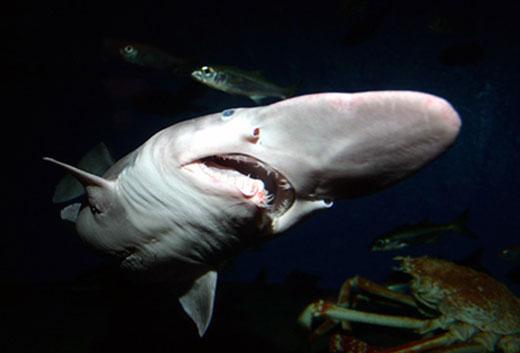 Goblin shark for Warframe fish oil