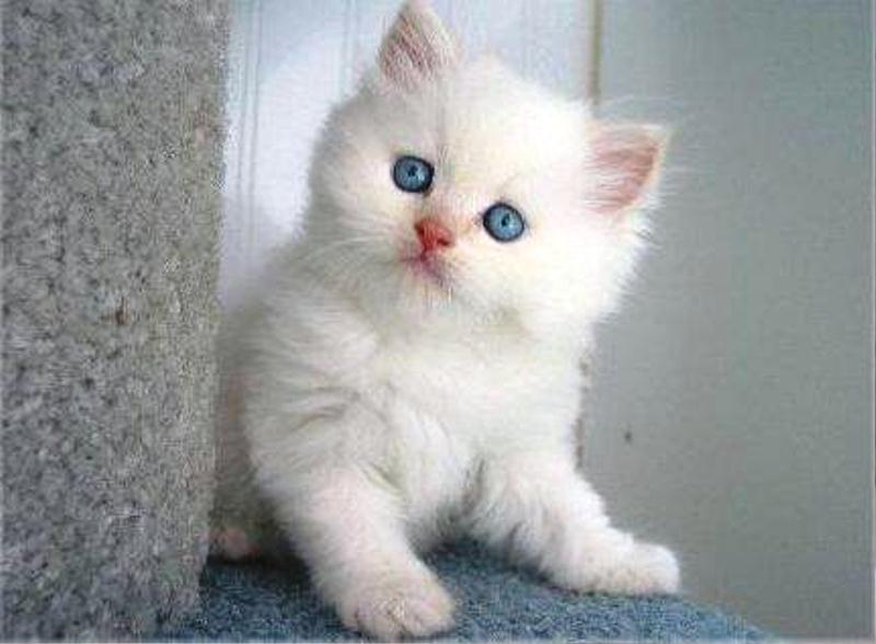 Gambar Kucing Anggora Lucu Imut godean.web.id