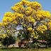 TEHNIK PEMBIBITAN ANGSANA  (Pterocarpus indicus Willd)