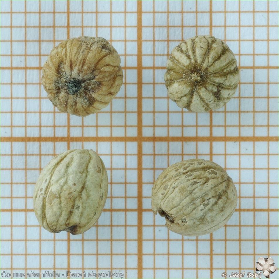 Cornus alternifolia - Dereń skrętolistny