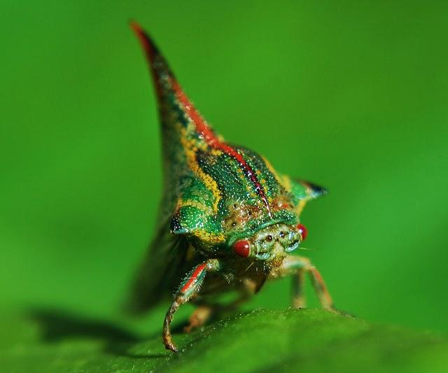 Serangga paling unik dan aneh
