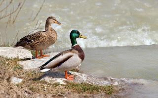 Pareja de patos salvajes ducks