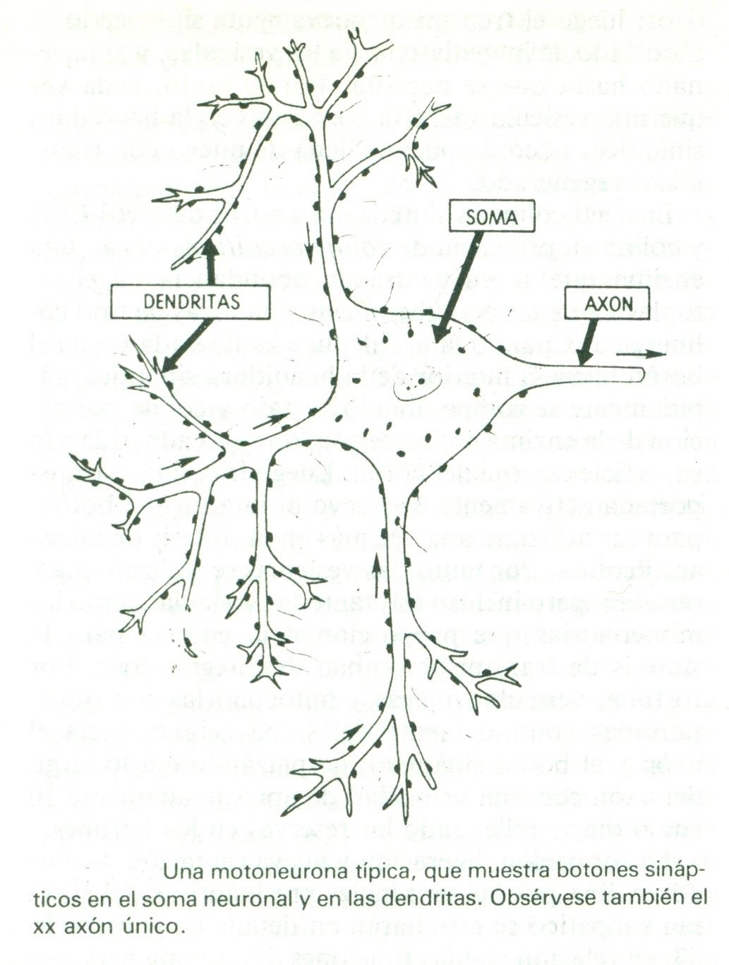 Psicología II: ANATOMÍA FISIOLÓGICA DE LA SINAPSIS