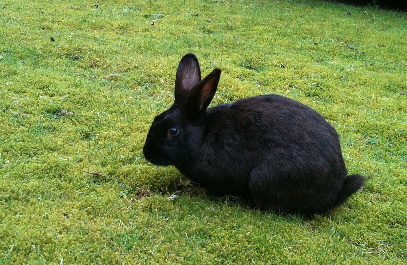 Penny's Hot Birding and Life!: Black Rabbit at work!