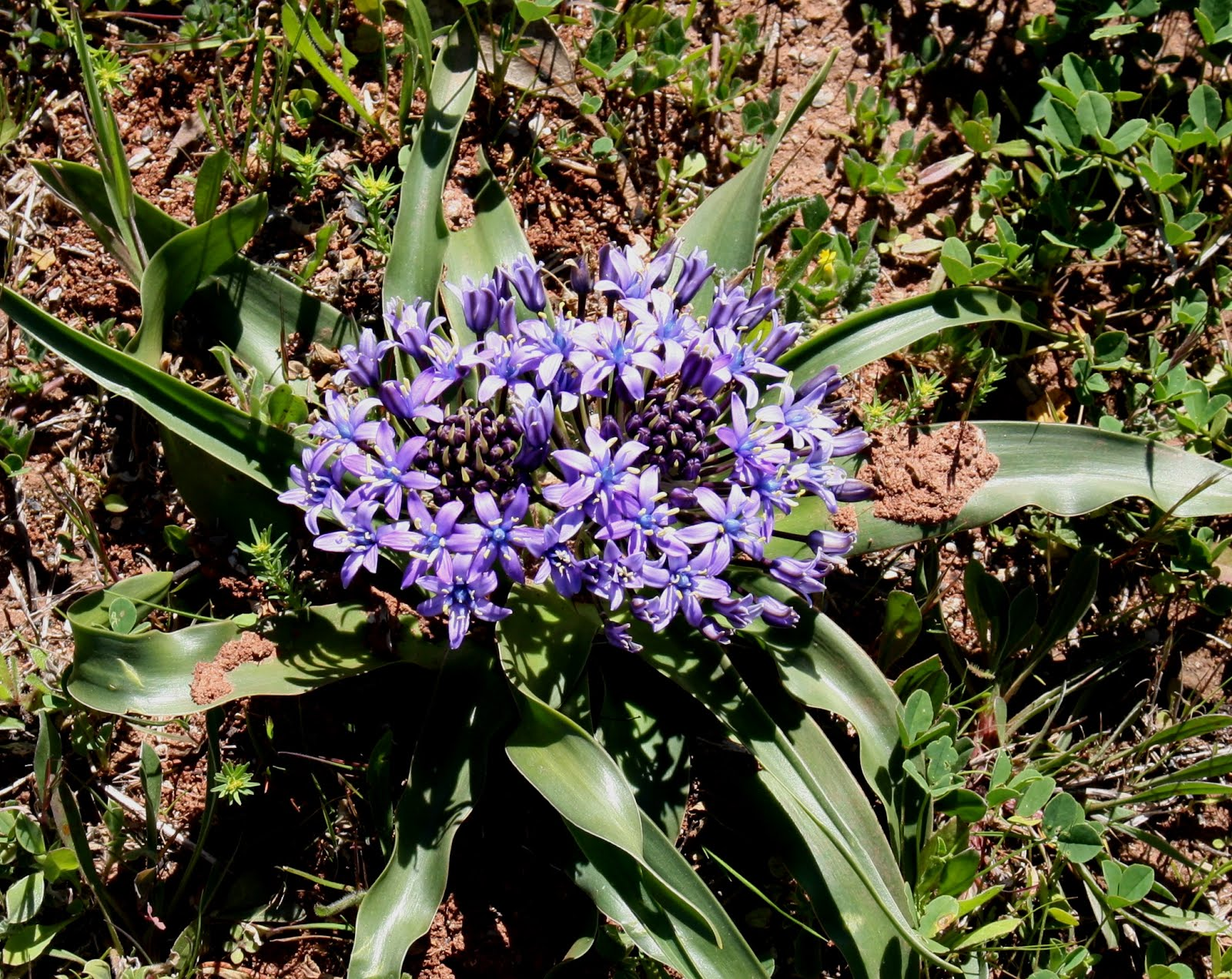 Scilla peruviana