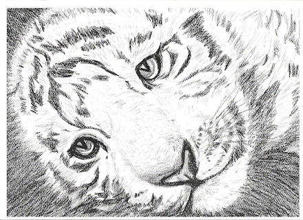 White Tiger lying down pic