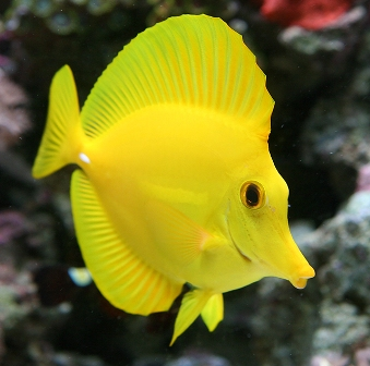 The magic of saltwater fish yellow tang for Yellow saltwater fish