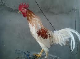Tips cara merawat ayam ketawa