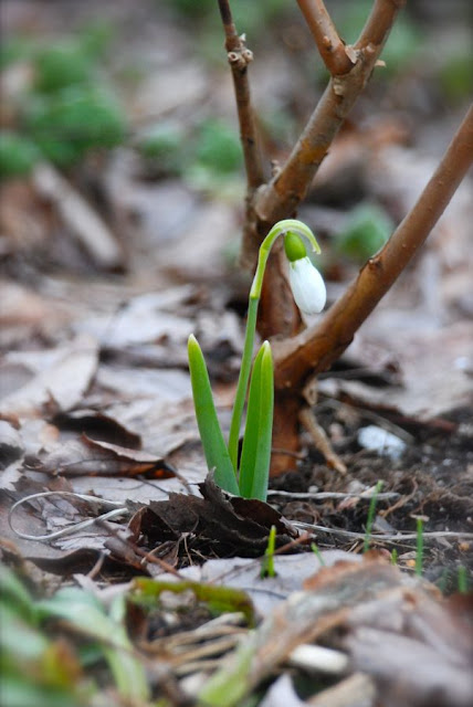 A lone snowdrop, Galanthus elwesii