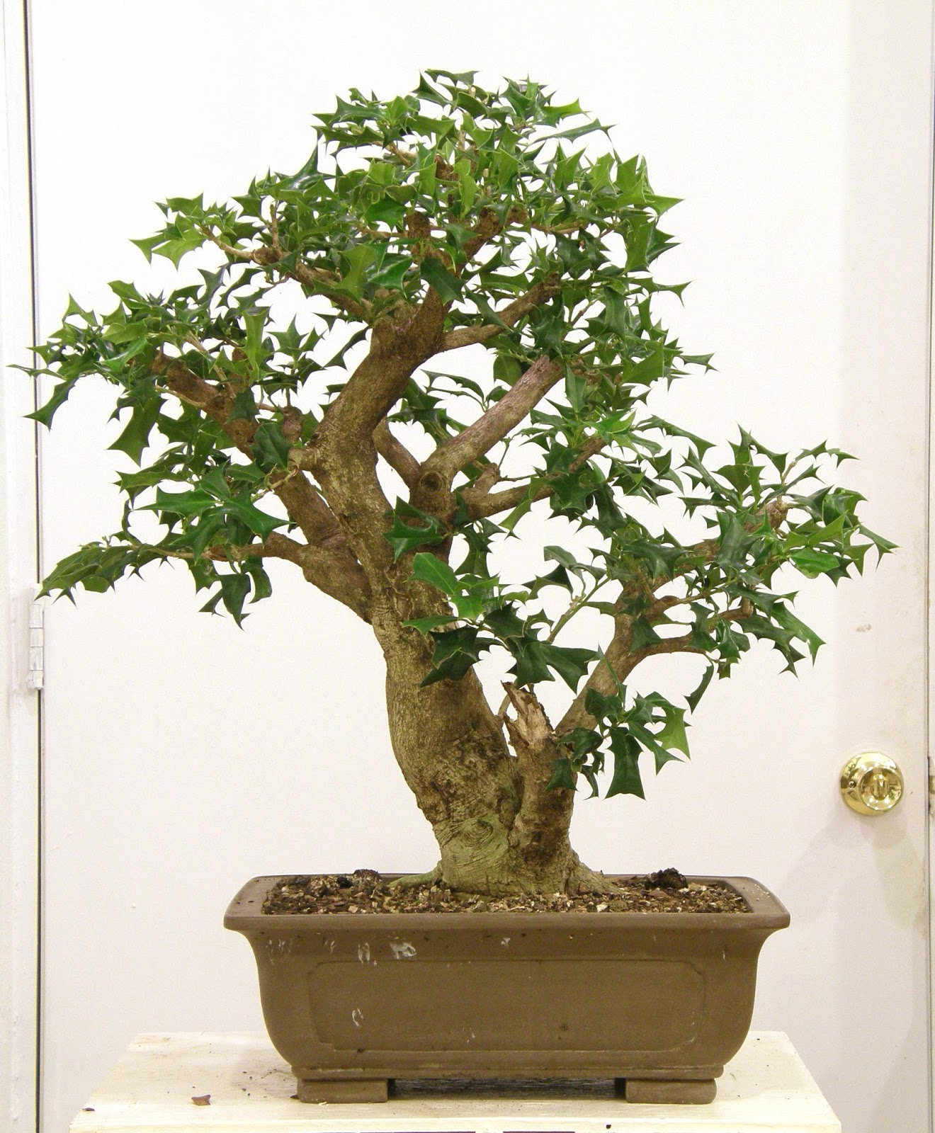 Heart Of Texas Bonsai Ilex Cornuta 2 Stick Out Your Can Here