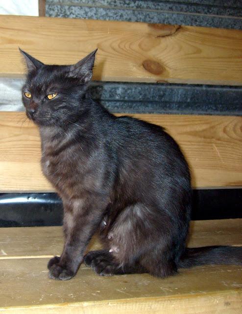 Красивая черная кошка греется на солнце