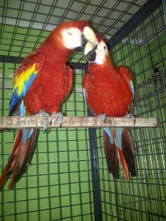 Jual sepasang burung macaw scarlet