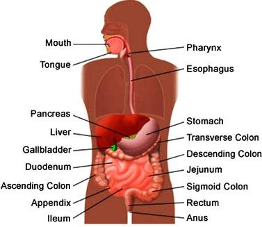 Aparato Digestivo indicando sus partes en inglés