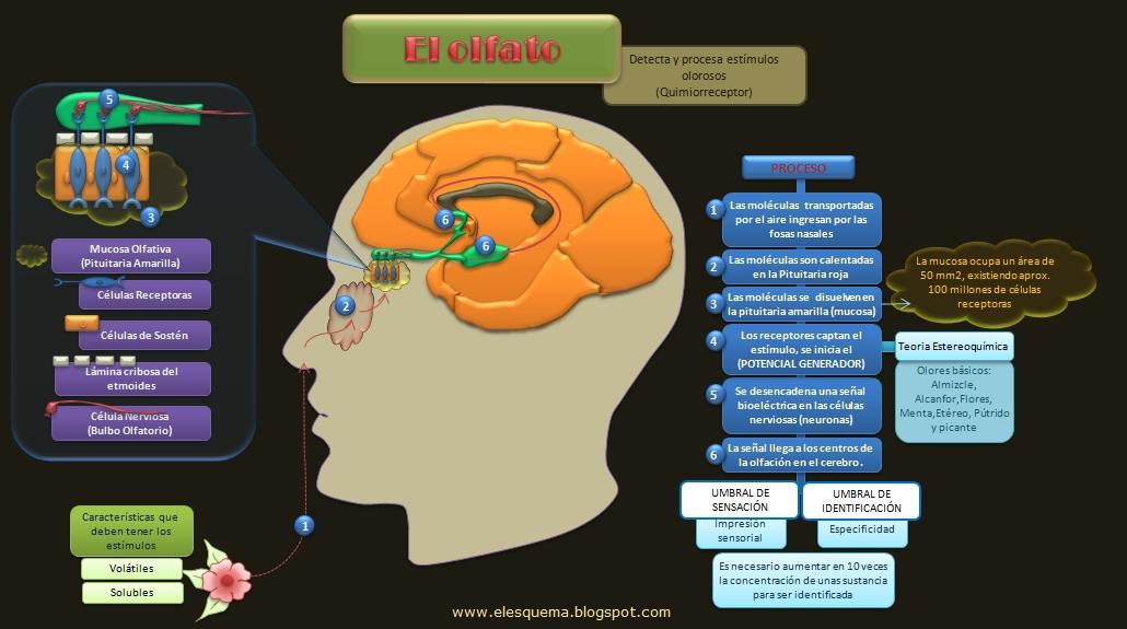 7.3 Olfato - Anatomia del sistema nervioso y organos de los sentidos