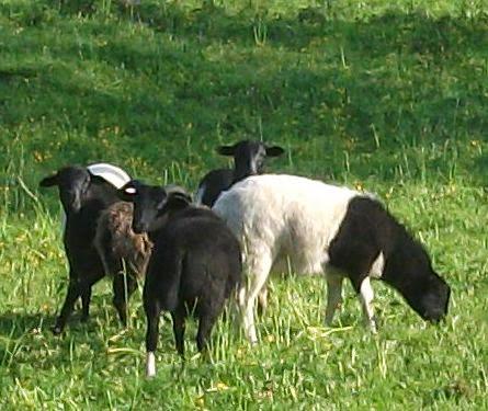 Mäh ihr Schafe, Mäht ihr Schafe