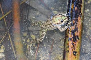 Frogs Plaka Antimachia Kos
