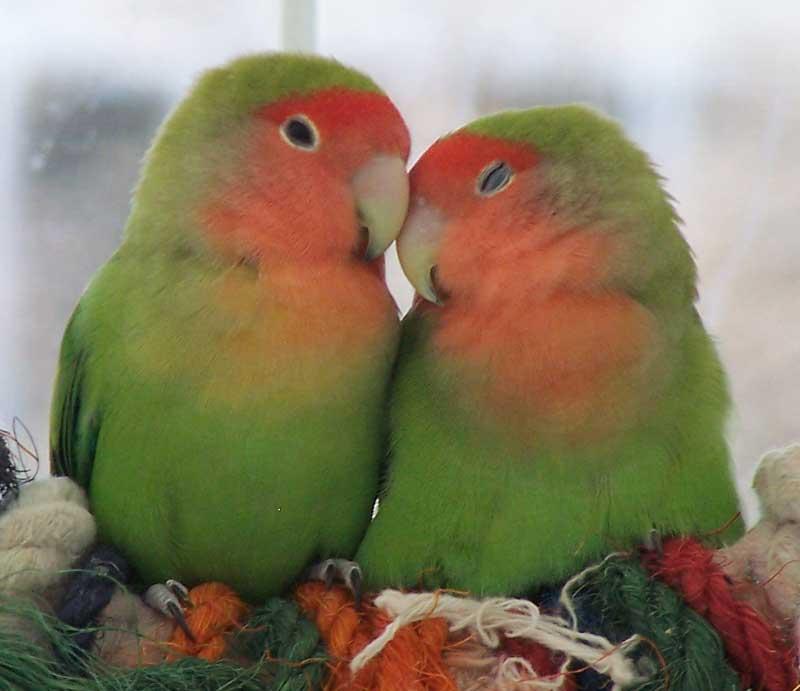Cute Love Wallpaper: Cute Love Birds Wallpapers
