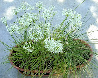 Chives Allium Schoenoprasum | Edible Onions | Garlic Chives Chinese Chives