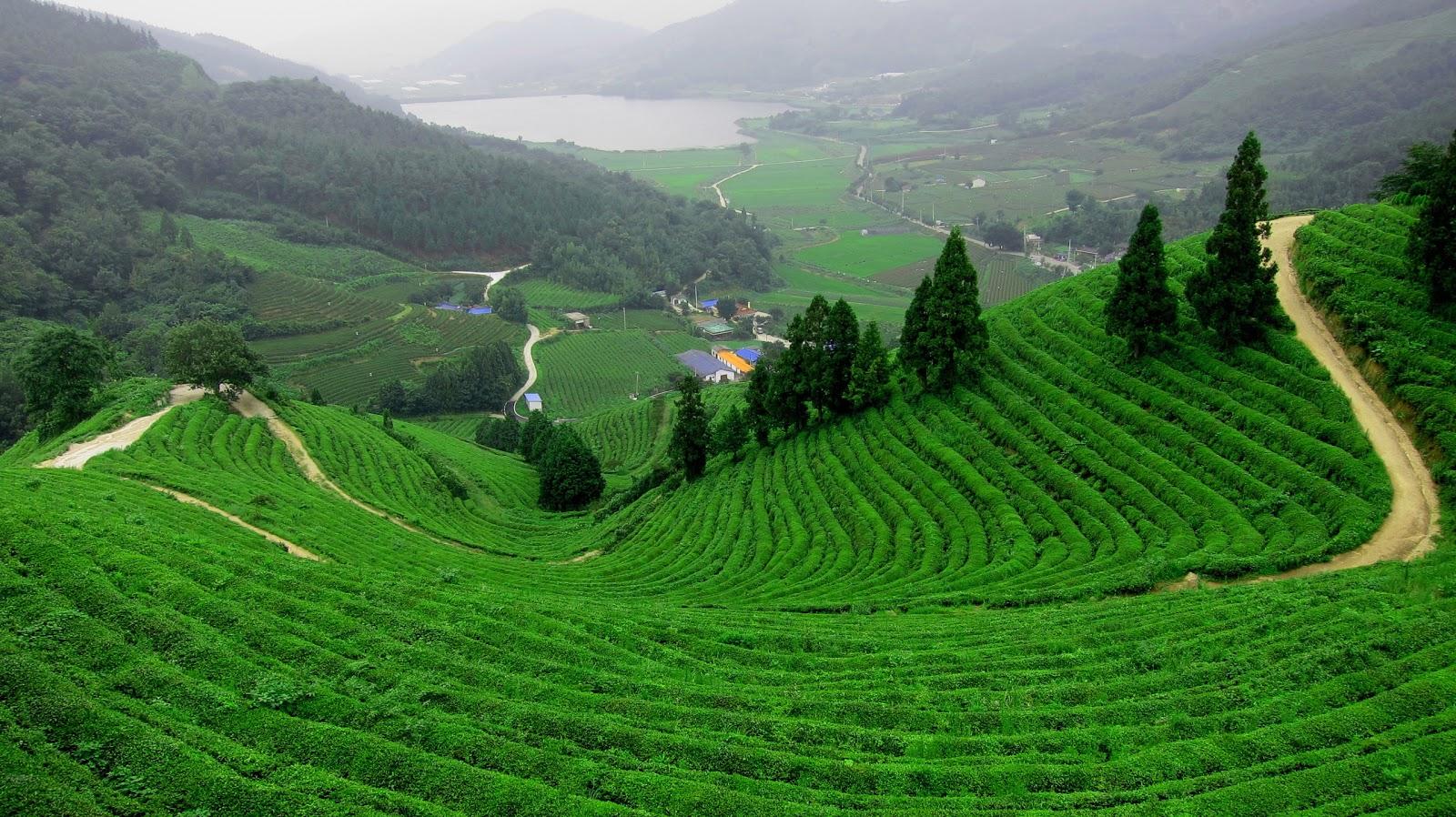 Beautiful Green Tea Gardens HD Wallpapers